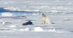 Polar bear sits near seal corps at Spitsbergen Sea Stock Footage