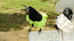Tamed crows at the exhibition in the park, slow motion  2 Stock Footage