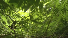 Royal fern in a german forest Stock Footage