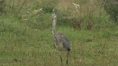Hunting grey heron Stock Footage