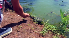Freshwater turtles coming ashore to eat bread. Stock Footage