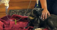 4K giving domestic short hair grey cat IV Subcutaneous Fluids Sub-Q drip needle Stock Footage