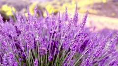 Lavender bushes closeup Stock Footage