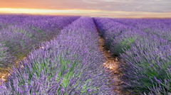 Sunset sky over lavender - stock footage