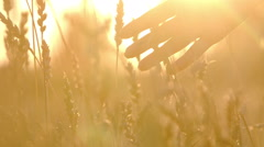 Gentle hand touches ears of wheat in the sunlight Stock Footage