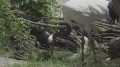 Red Crowned Crane Stock Footage