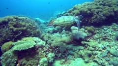 Hawksbill turtle (Eretmochelys imbricata) swimming over reef Stock Footage