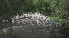 Group of White Flamingos Stock Footage