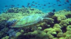 Hawksbill turtle (Eretmochelys imbricata) swimming over reef, from side Stock Footage