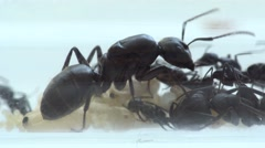Ant queen with  brood and cocoons Stock Footage