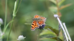 Butterfly Comma (Polygonia c-album) Stock Footage