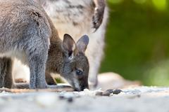 Closeup of a Red-necked Wallaby baby Stock Photos