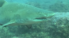 Dangerous Bull Shark (Carcharhinus leucas) Underwater Video Stock Footage