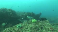 Dangerous Bull Shark (Carcharhinus leucas) Underwater Video - stock footage