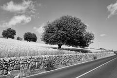 Italy, Sicily, Ragusa Province, countryside, wheat field and carob trees Stock Photos