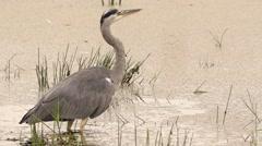 Grey heron hunting at a lake Stock Footage