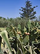 Italy, Sicily, prickly pears and olive trees in the sicilian countryside Stock Photos