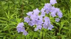 Bunches of wild flower harebell in summer park Stock Footage