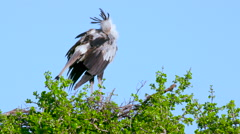 SECRETARYBIRD ON NEST MAASAI MARA KENYA AFRICA Stock Footage