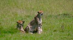 THREE CHEETAHS SAT LINE MAASAI MARA KENYA AFRICA Stock Footage