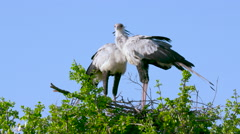 SECRETARYBIRDS ON NEST MAASAI MARA KENYA AFRICA Stock Footage