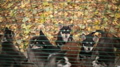 The people fed Husky puppies in the cage in the nursery Stock Footage