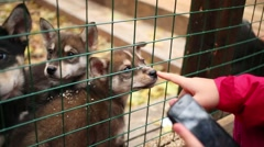 Husky Puppies in a cage sniff a person hand in the nursery Stock Footage