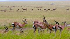 LINE OF THOMSON'S GAZELLE MAASAI MARA KENYA AFRICA Stock Footage