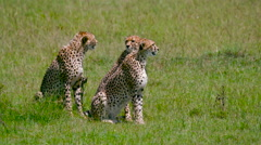 THREE CHEETAHS SAT LINE MAASAI MARA KENYA AFRICA Stock Footage