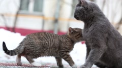 Adult gray cat and little kitten outdoor in winter among snowbanks. Arkistovideo