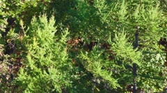Beautiful branches of fir and birch at the windy day. Stock Footage