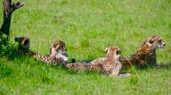 THREE CHEETAH CUBS MOTHER MAASAI MARA KENYA AFRICA Stock Footage