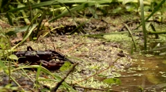 Crayfish  - astacus astacus - under water Stock Footage
