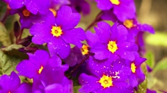 Primula in family Primulaceae Stock Footage
