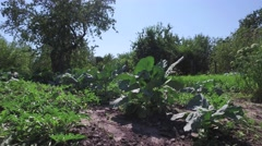 Cabbage growing in garden on small vegetable garden on farm Stock Footage