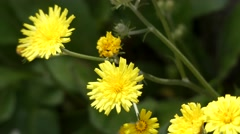 Crepis triasii is a plant of family Asteraceae Stock Footage