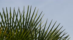 Chamaerops humilis, called European fan palm - stock footage
