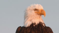 Close portrait of bald eagle Stock Footage