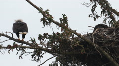 Adult bald eagle with chick in nest Stock Footage