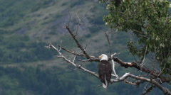 Bald eagle perched in a tree Stock Footage