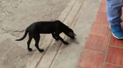 Small Black Emaciated Puppy Sniffing for Food in Latin America City Stock Footage