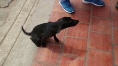 Skinny black puppy sits down on tile floor and looks at person  (HD) - stock footage