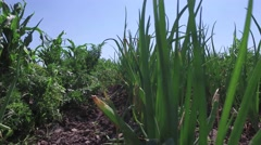 Green onions grow in garden on small vegetable garden on farm Stock Footage