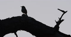 Silhouetted Carolina wren chirping on branch after sunset. Stock Footage