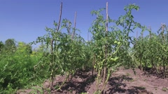 Motion on growing tomatoes outdoors greenhouse Agriculture 4k Stock Footage
