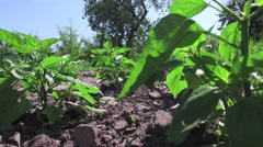 Peppers growing in garden on small vegetable garden on farm Stock Footage