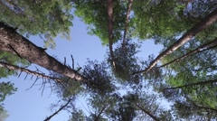 Bottom view on the tops of green trees growing in forest Stock Footage