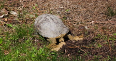 Red-eared slider turtle laying eggs in nest. Stock Footage