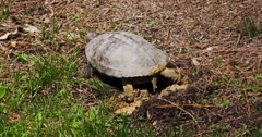 Red-eared slider turtle covering nest with mud. Stock Footage