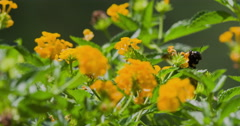 Bumble bee foraging on lantana flowers. Stock Footage